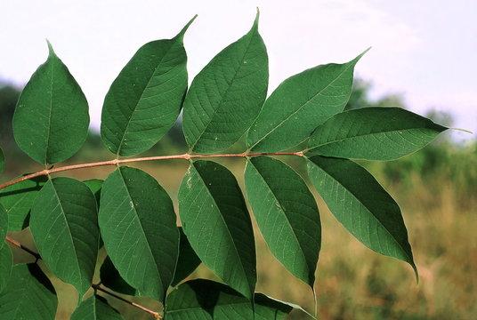 Leaves. Wrightia Arborea. Family: Apocyanaceae. A small tree with milky sap.