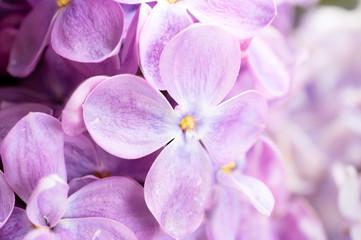 Spoed Foto op Canvas Lilac Fresh lilac flowers