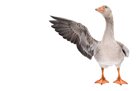 Funny goose points wing to side standing isolated on white background