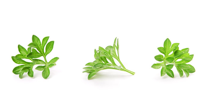 small sprigs of fresh parsley. (macro focus stacking)