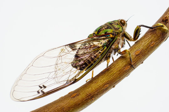 Adult Chorus cicada,  Amphipsalta zelandica is a common species of cicada which is endemic to New Zealand.