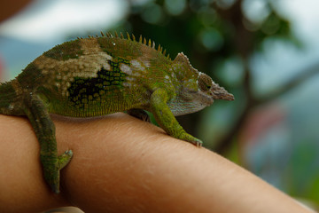 Cute and funny chameleon