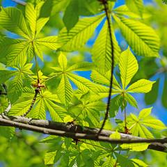 Junge Blätter der Rosskastanie, Aesculus, im Frühling