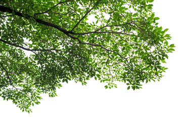 Green tree leaves and branches on white background