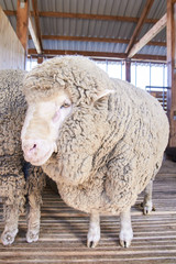 Sad kulunda breeding sheep. Muzzle sharing. Meat and fur farm production. Animal head. Closeup portrait staring