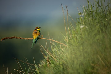 Merops apiaster. Wild nature of Europe. Colorful bird. Beautiful photo. Nature of the Czech Republic. Beautiful picture. Bird Empire. From the life of birds.