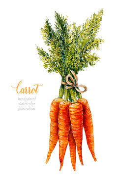 Carrot. Bunch of carrots. Vegetables. Watercolor botanical hand drawn illustration.