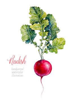 Radish. Vegetables. Watercolor botanical hand drawn illustration.
