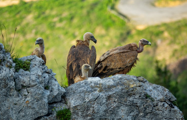 A group of vultures over the rock