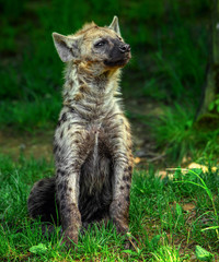 Poster Hyena Spotted hyena (Crocuta crocuta)
