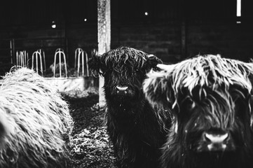 Black and white picture of Scottish Highland Cow in field looking at the camera, Ireland, England,...