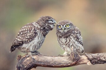 Fototapete - Two young Little owl, Athene noctua, stands on a stick on a beautiful background