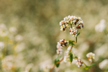 Fototapeta Buckwheat (Fagopyrum esculentum) flower in cultivated field obraz