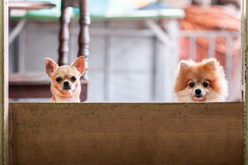 Cute young Chihuahua and Pomeranian dogs behind fence look at camera with curious eyes