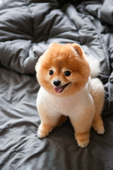 Cute young fluffy hair Pomeranian dogs sit on cozy bed with very happy face