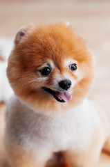 Cute young fluffy hair fur Pomeranian dog with mounth open