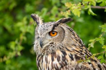 portrait of an eurasian eagle owl