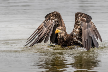 brown eagle in water