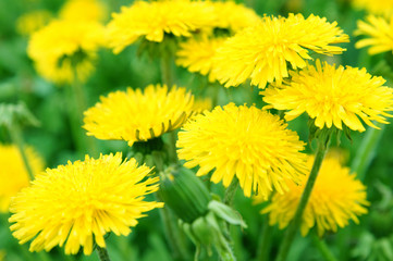 Beautiful spring dandelion flowers