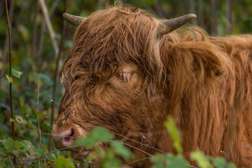 close up portrait of a  highland cow