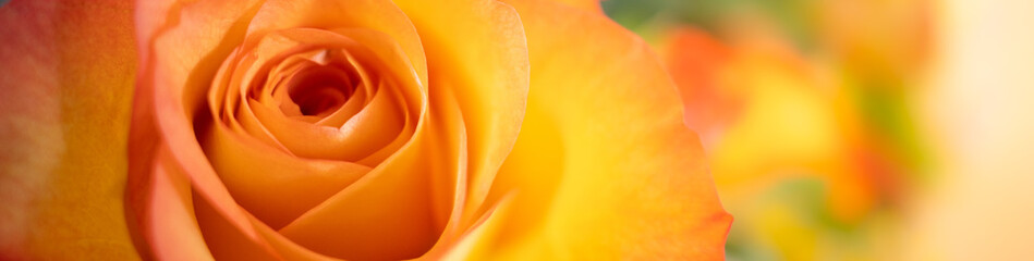 Closeup nature view of orange rose on blurred background and copy space using as background natural plants landscape, ecology cover page concept.