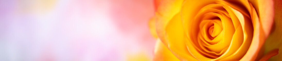 Papiers peints Spirale Closeup nature view of orange rose on blurred background and copy space using as background natural plants landscape, ecology cover page concept.