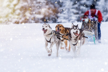 Sled dog-racing with Alaskan malamute and husky dogs. Snow, winter, competition, race concept. Fototapete