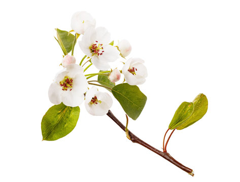 Blossoming branch of apple tree isolated on a white background. Fruit tree flower