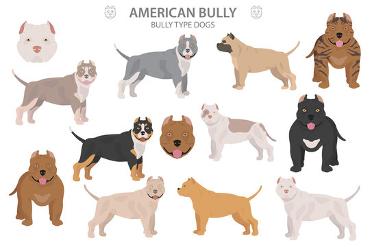 Pit bull type dogs. American bully. Different variaties of coat color bully dogs set