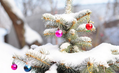 Colorado Blue Spruce Tree Covered Snow with Colorful Christmas Balls Decoration.