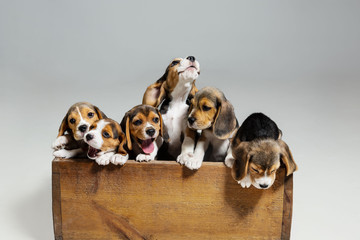 Wall Mural - Beagle tricolor puppies are posing in wooden box. Cute doggies or pets playing on white background. Look attented and playful. Studio photoshot. Concept of motion, movement, action. Negative space.