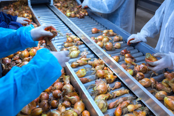 The hands of the employee who sort the onions bulbs on the sorting line. Production facilities for grading, packing and storage of crops of large agricultural companies.