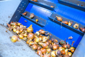 The onions bulbs in the sorting line. Production facilities for grading, packing and storage of crops of large agricultural companies.