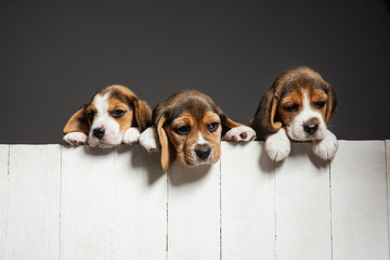 Wall Mural - Beagle tricolor puppies are posing. Cute white-braun-black doggies or pets playing on grey background. Look attented and playful. Studio photoshot. Concept of motion, movement, action. Negative space.