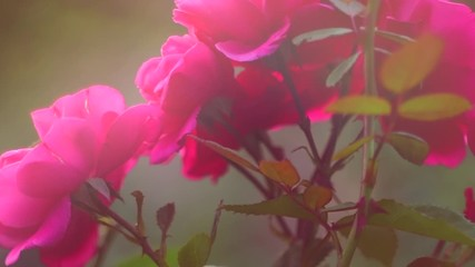 Fotoväggar - Pink rose flower. Beautiful Roses blooming in a garden. Beauty fresh rose flowers with buds growing in summer garden and blooming. Gardening concept. 4K UHD video slow motion
