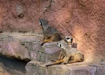 Three meerkats in the zoo are sitting on the stone and watching around