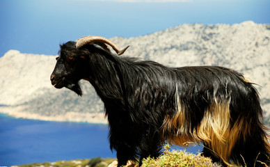 Beautiful black goat in the hills of dazzling Amorgos Island