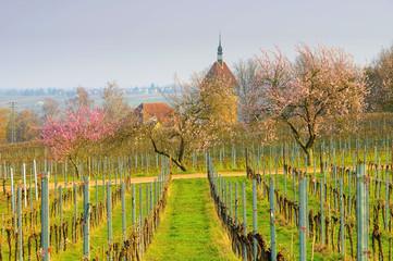 Geilweilerhof während der Mandelbluete in der Pfalz im Frühling - Geilweilerhof  during almond blossom in Rhineland Palatinate in spring, Germany