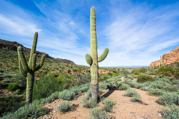 Wall Murals Cactus Arizona landscape with Saguaro cactus