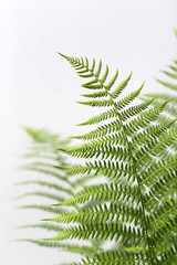 Vibrant Green Fern Fronds Against A White Background