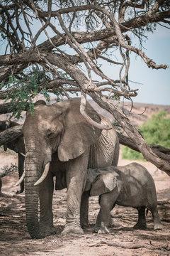 A mother elephant with a newly born calf feeding on trees