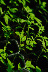 Green young tomato plants growing in plastic container