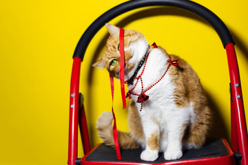 Portrait of red white cat, playing with Christmas bow, standing on metal stairs, isolated on yellow background. Wall mural