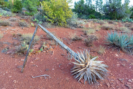 Sedona, Arizona/ United states of America, USA-october 13th 2019: Landscape of wild forest with dried agave