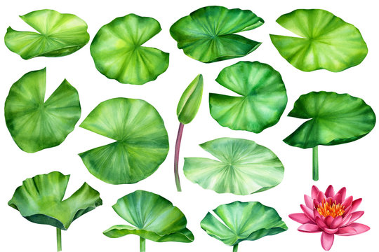 watercolor set of lotus leaves on an isolated white background