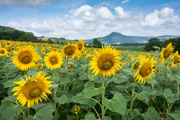Scenic view of sunflowers growing on landscape against cloudy sky, Germany