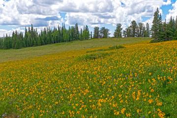 Summer Wildflowers in a Mountain Meadow