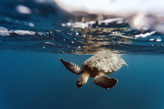 Indonesia, Bali, Underwater view of lone turtle swimming near surface