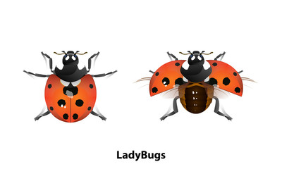 Picture of Ladybug There is a normal standing and flying on White background Is a vector file