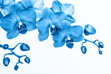 Foto op Plexiglas Spa Orchid branche in blue color on white background with copy space